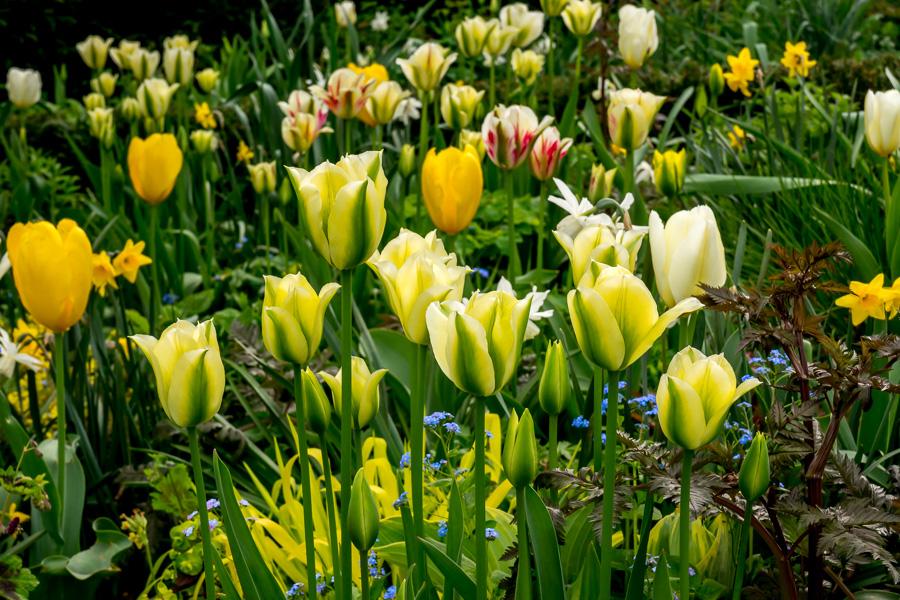 Tulpen-Mischung gelb-weiss