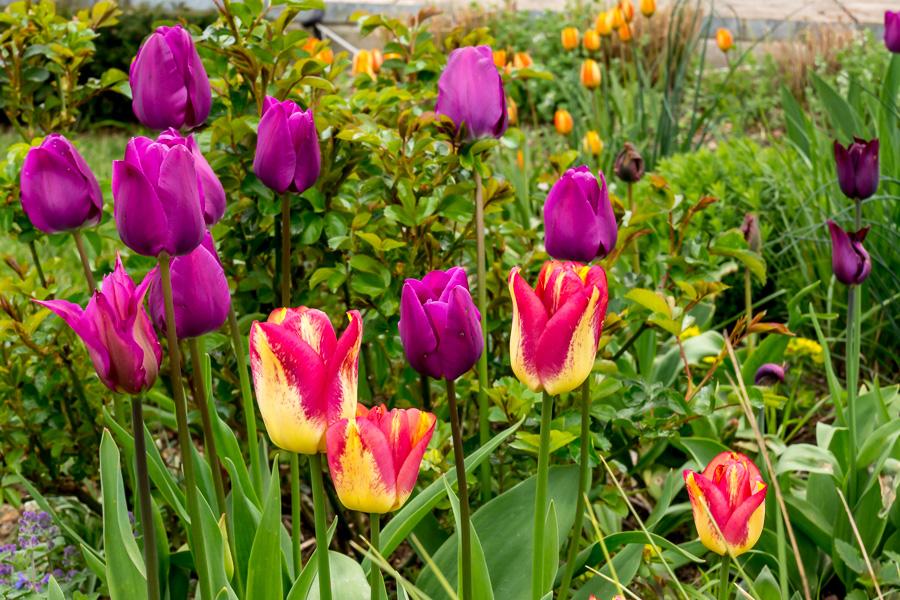 Tulpen-Mischung orange und violett