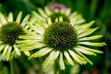 Echinacea Green Juwel