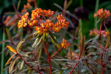 Euphorbia Dixter
