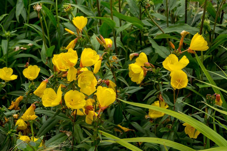 Oenothera Sonnenwende