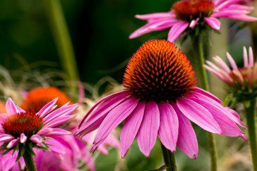 Echinacea Rubinstern